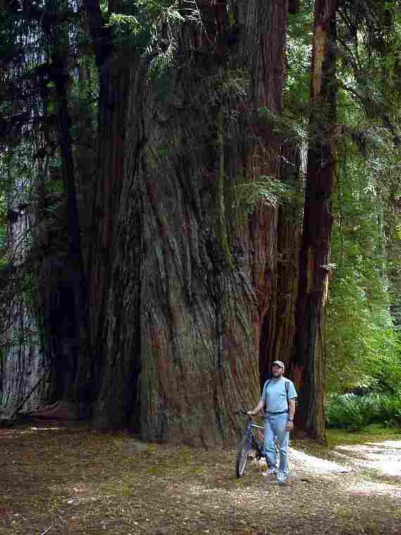 1000+ year old red woods